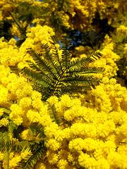 Mimosen als Frühlingsboten... ©UdoSm
