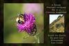 Marcopis europaea bee - Bishopstone - 8.8.2015
