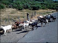 Goats. Valle de Ambroz. HFF!
