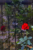 Red rose and fence reflection