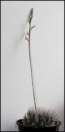 Haworthia bolusii (1)