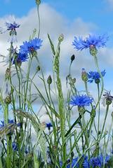Bleuets des champs