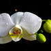 Orchid ⌥-✽