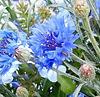 Un bleuet pour ne pas oublier