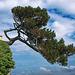 P6153197ab Plougrescant Pors Hir Splendid Marine Pine