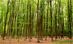 Spring deciduous Tree(s)...