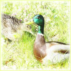 high key ducks ... ♫ ♪ ♪ ♫