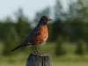 American Robin in the countryside