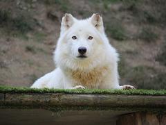 Loup arctique, parc zoologique de Saint-Martin-la-Plaine (Loire, France)