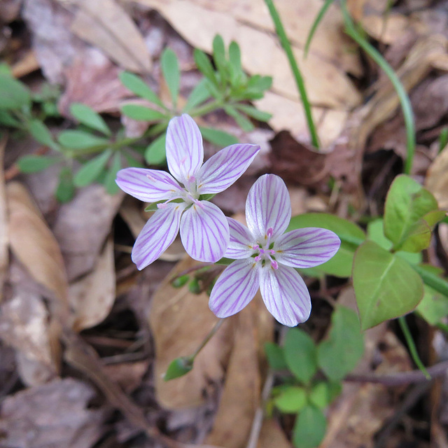 Claytonia virginica flowers
