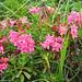 Die Alpenrosen in ihrer vollen Schönheit