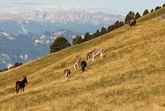 Almwiese am Weisshorn mit Esel und Kühe