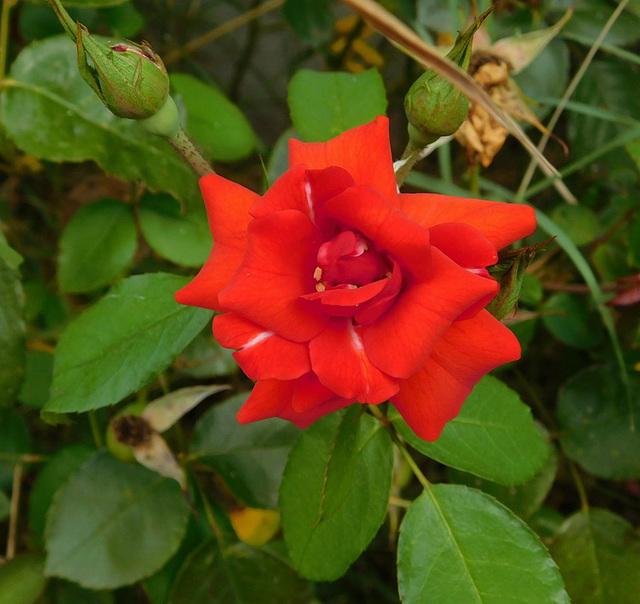 Journée de la rose...pour vous !