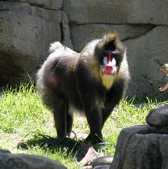 Baboon at Dallas Zoo