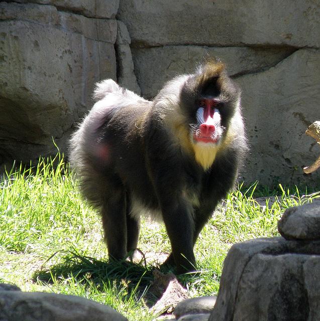 Baboon at Dallas Zoo