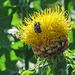 Globe Centurea / Centaurea macrocephala with bee