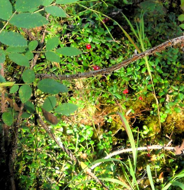Low bush cranberries