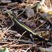Aujourd'hui j'ai croisé le chemin d'une petite salamandre .
