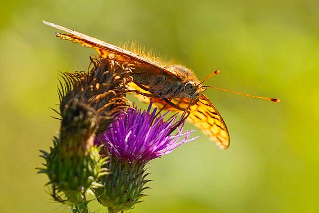 Noch schnell einen Schluck Nektar - One more sip of nectar - Argynnis adippe - PiP