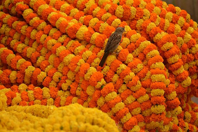 Sparrow at the flower market, Kolkata