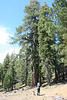 Very large ponderosa (or Jeffrey) pine