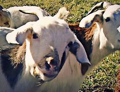 Goat art I