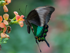 Neon-Schwalbenschwanz, Grüner Schwalbenschwanz (Papilio palinurus)