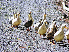 Line of Ducks