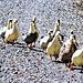 Line of Ducks