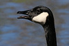 Do geese have teeth?