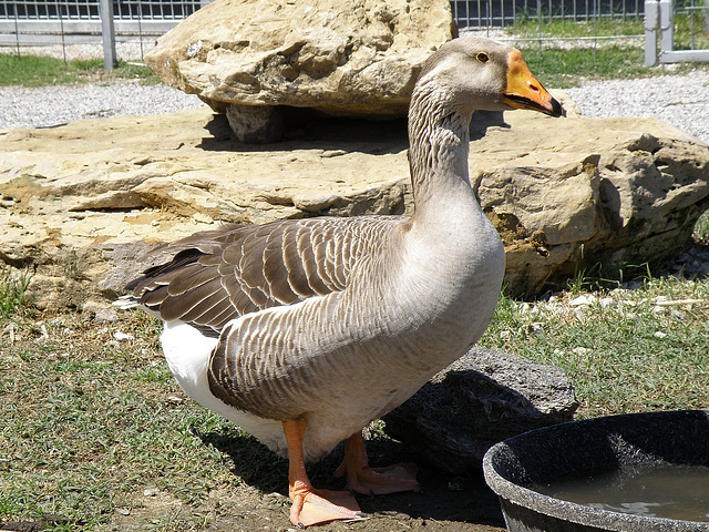 Goose at the Zoo