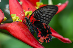 Scarlet Mormon - Papilio rumanzovia