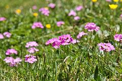 Mehlprimel - (Primula farinosa)