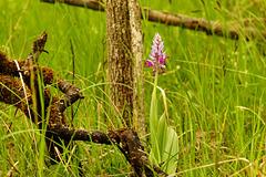 Eine einheimishe Orchidee: Orchis militaris - A native orchid: Orchis militaris