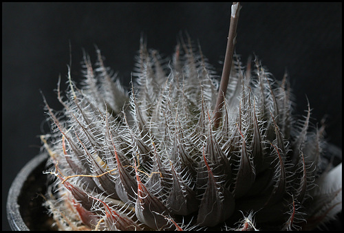 Haworthia bolusii (4)