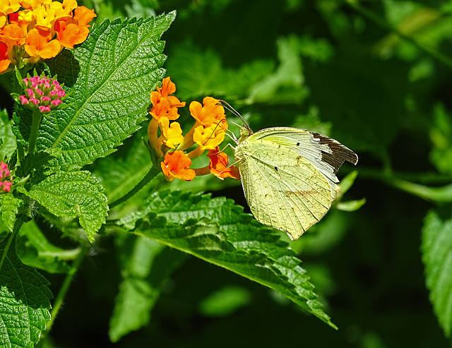 Mexican Yellow (Eurema mexicana) (with a broken wing tip)