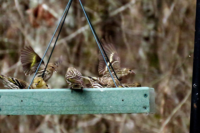 Pine Siskins and a Goldfinch