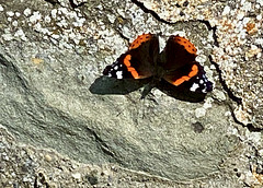 Roter Admiral
