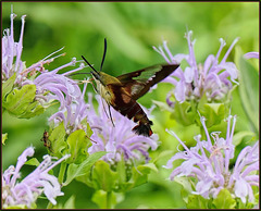 Detail - Clear-Winged Hummingbird Moth (Hemaris Thysbe)