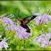 Detail - Clear-Winged Hummingbird Moth (Hemaris Thysbe)
