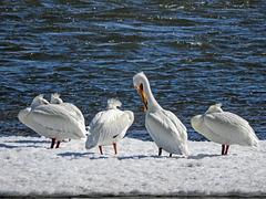 American White Pelicans, Nikon Coolpix B700