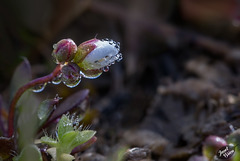 Pictures for Pam, Day 119: Tiny Whitlow Spring Grass