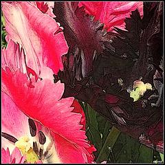 Tulipes perroquet