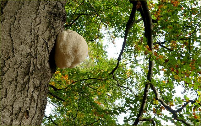 Lion's mane Mushroom ~ Pruikzwam (Hericium erinaceus)...