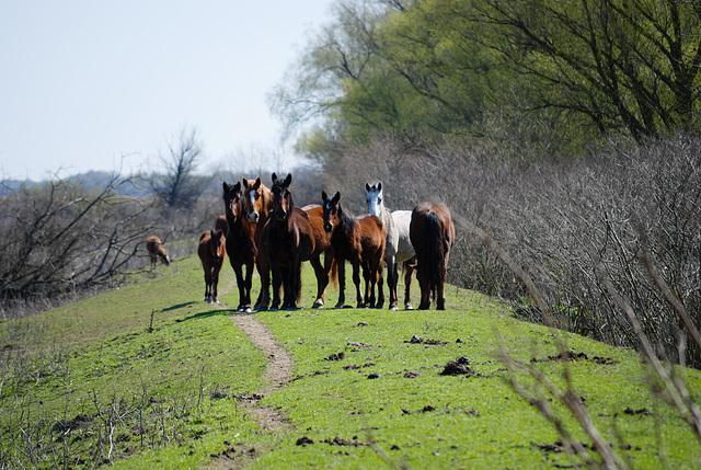 Die wilde Pferde