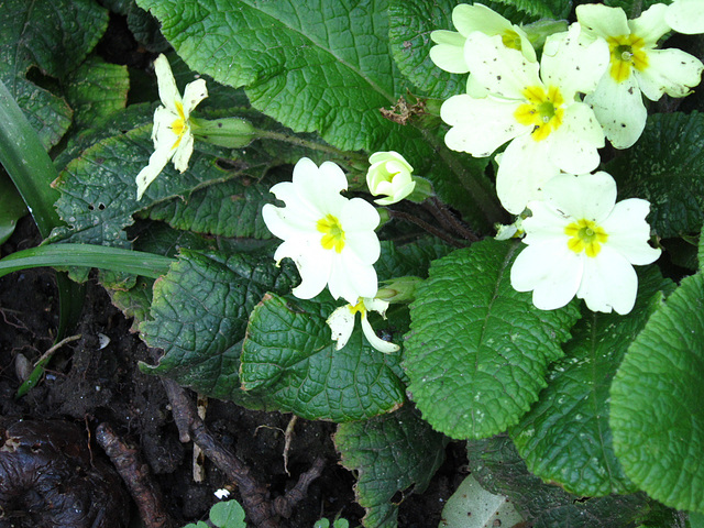Some tired primroses