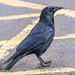 Country [Park] Crow [1]