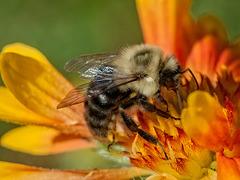 _B030489dL Bee