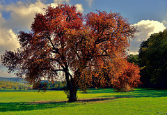 Der rote Baum - The red Tree
