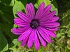 DSC 0491ac Purple Daisie Flowering Alone at Home